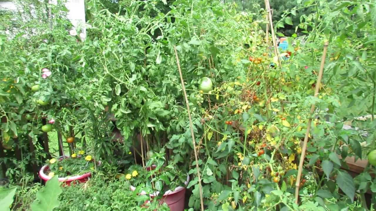 Yellowing Tomato Leaves May Be Normal High Temperatures The Rusted Vegetable Garden