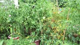 Yellowing Tomato Leaves May Be Normal: High Temperatures? - The Rusted Vegetable Garden