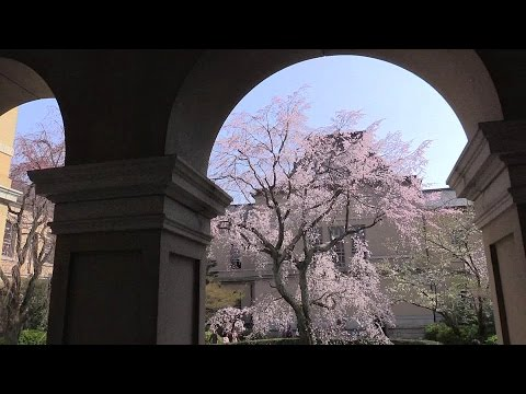 京都 府庁旧本館の桜 Cherry blossoms in Kyoto Prefectural Office(2015-03)