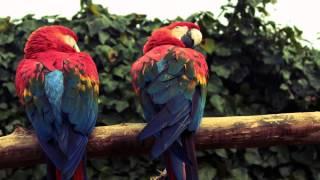 Музыка пение птиц слушать онлайн