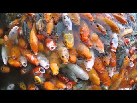 Thousands Of Koi Fish Fighting For Food - China