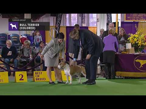Bull Terriers Colored | Breed Judging 2019