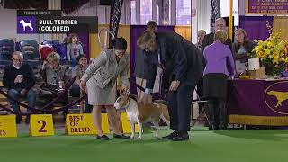 Bull Terriers Colored   Breed Judging 2019