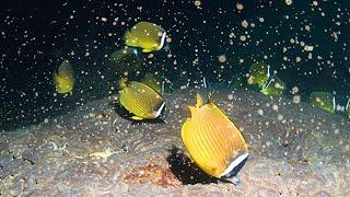 無数の卵とチョウチョウウオ 屋久島沖でサンゴ産卵