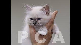 Бирманский котенок блю-табби-пойнт. Выставка кошек PCA on-line.
