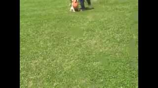 Dogs ran about the park in the lawn after the training of English s...