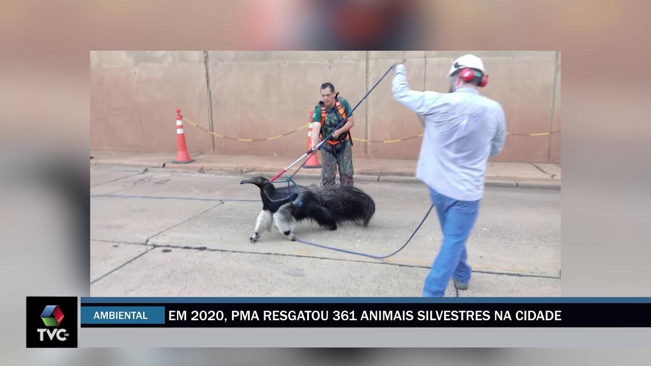 Mais de 300 animais silvestres foram resgatados dentro da cidade pela PMA de Três Lagoas em 2020