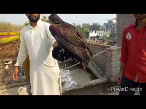 Free Flight Of My Rescued Eagle After A Long Treatment  || Jaa Jee Ly Apni Zindagi😁😂🤣😀😎