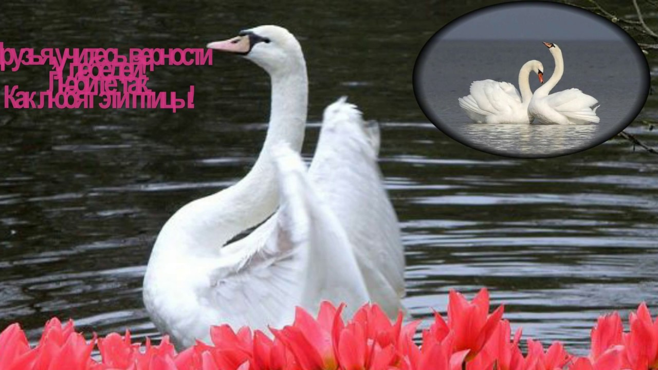 Белые лебеди - YouTube