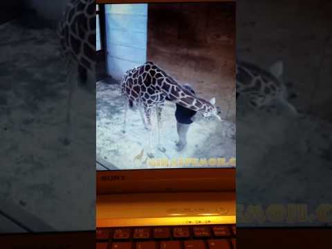 Thumbnail: April the giraffe almost kicks Dr Tim