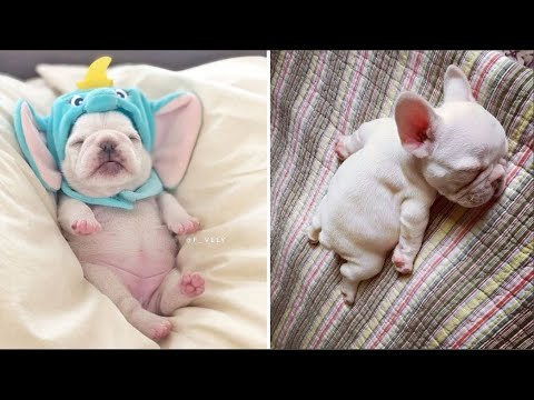 Funny and Cute French Bulldog Puppies Compilation #5  Cutest French Bulldog