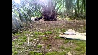 Ayam Hutan Pikat Betina 8
