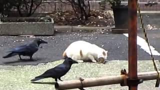 Вороны тролят кота \ Ravens Troll Cat