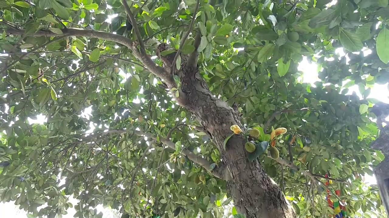 cây mít nài