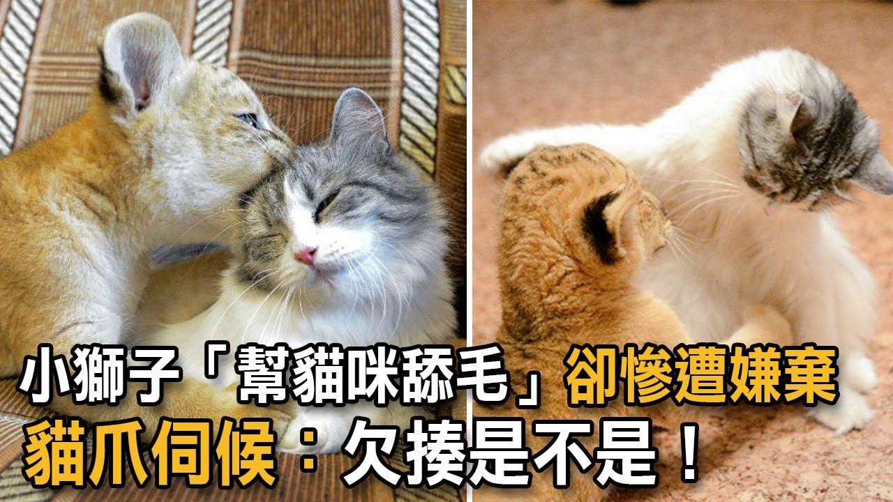 小獅子「幫貓咪舔毛」卻慘遭嫌棄 貓爪伺候:欠揍是不是!|貓咪故事|貓與獅子