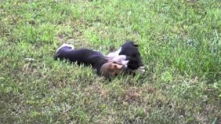 Cuccioli Di Beagle Harrier
