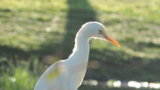 白鷺鷥  生態影片