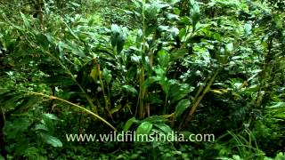 Cardamom plants in spice plantation in Kerala