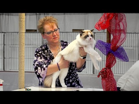 CFA International 2016 - Purple Show - Ragdoll kitten class
