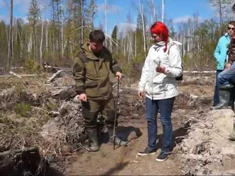 Как правильно высаживать сосны и ели в лесу? Мастер-класс от лесников