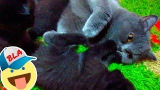 Котята британцы от британской короткошерстной. Our british cat gave birth to three kittens