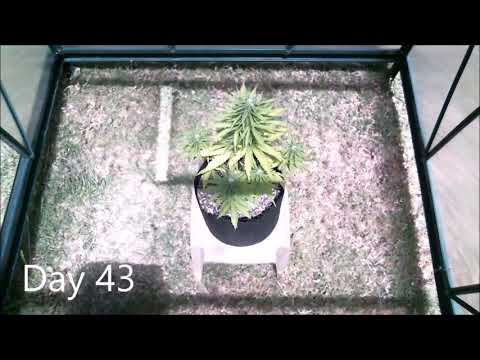 Time Lapse Outdoor Northern Lights Cannabis Plant From Seed to Harvest i j2oOPQZf4 1500cut