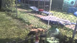 German Shepherd/bullmastiff Puppy Playing With Staffordshire Bull Terrier Puppy