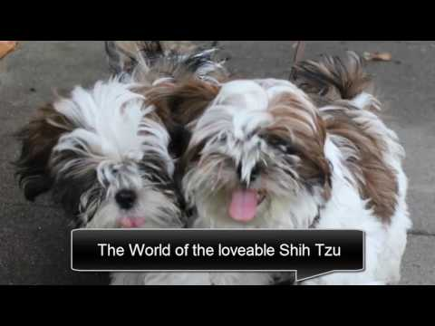 Shih tzu temperament