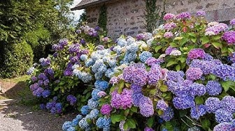 How to Care Hidrangea, Hortensia