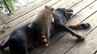 Енот играет с собакой