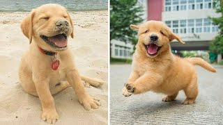 Funniest & Cutest Golden Retriever Puppies #15- Funny Puppy Videos 2020