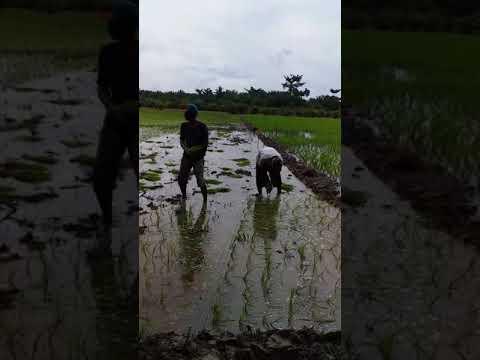 Tanam padi menggunakan kuku kambing Mp3