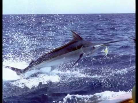 A tribute to the billfish of the world