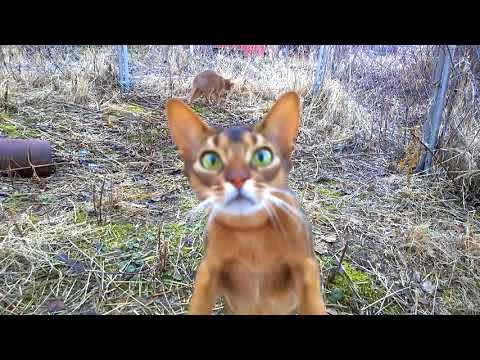 Abyssinian cats outside