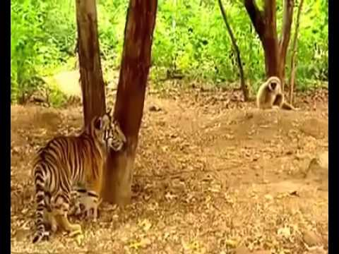 Funny brave monkey messes with two tigers new 2014