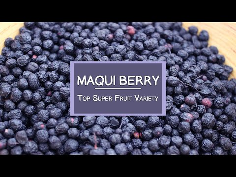 The Maqui Berry, Another Top Super Fruit Variety