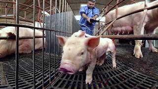 360度全景體驗肉豬的一生 Life of Pigs in 360 Degrees by iAnimal [CC Available]