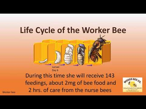 Life Cycle of the Worker Bee