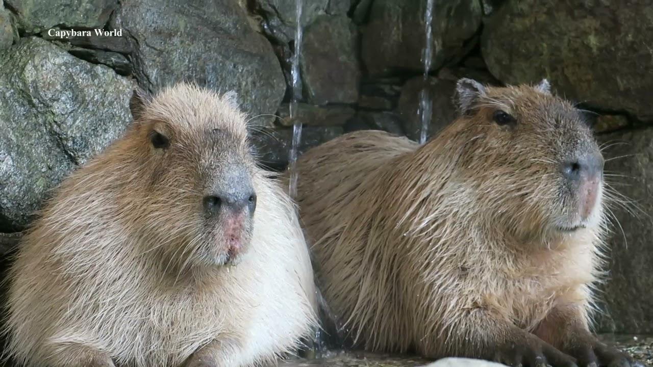 How Capybaras React When a Human Becomes Hysterical  人間がヒステリーになったときにカピバラがどのように反応するか  當人類歇斯底里時水豚如何反應
