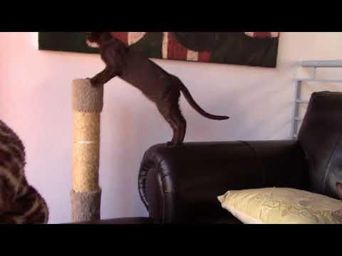 Two peterbald kittens short hair Boris and Anfisa Romanov Cats Cattery