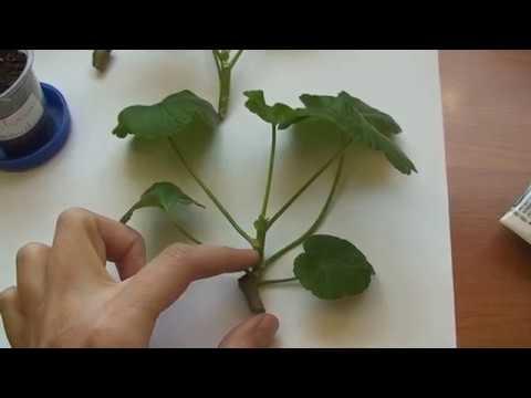 Укоренение черенков пеларгонии. Как укоренить пеларгонию.
