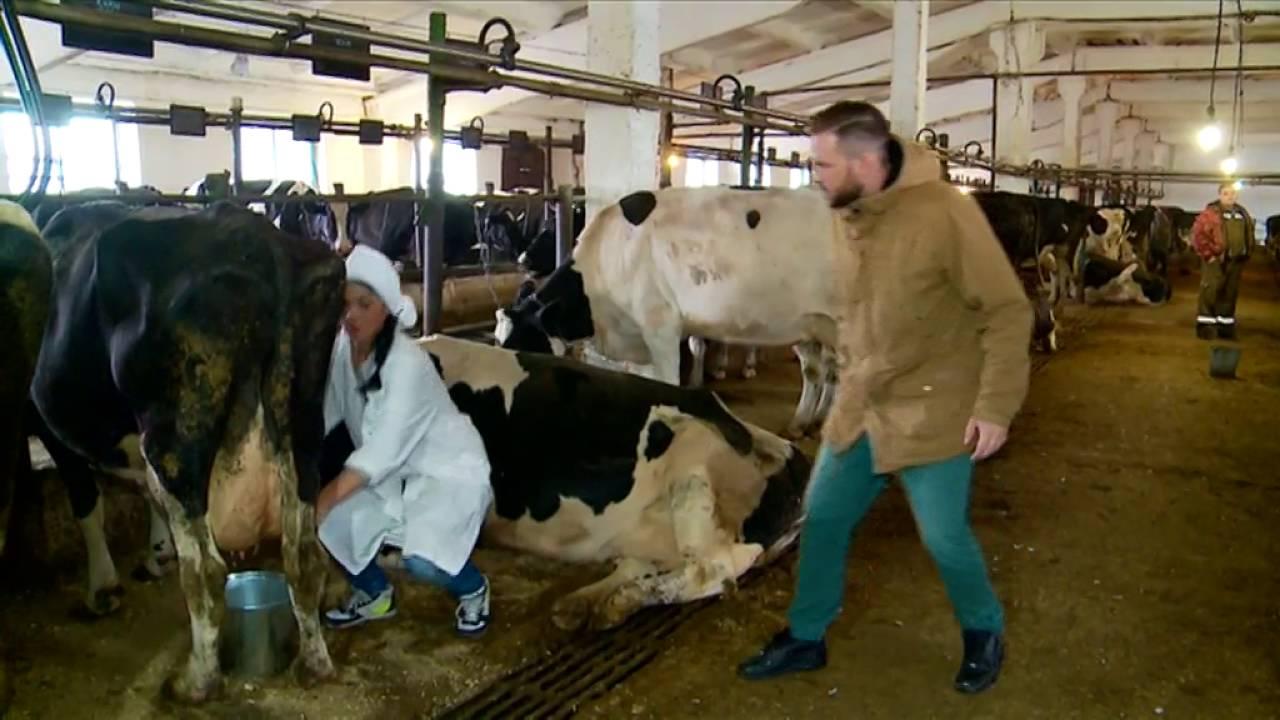 Дойка 10 коров