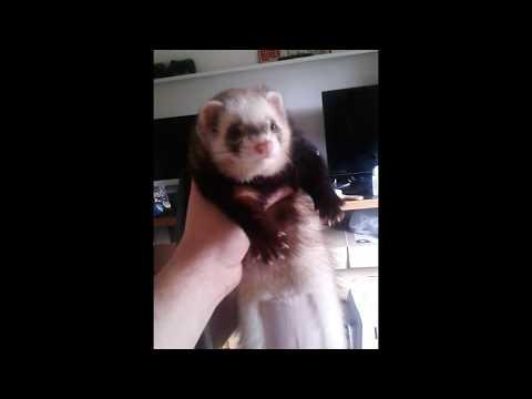 My ferret dooking