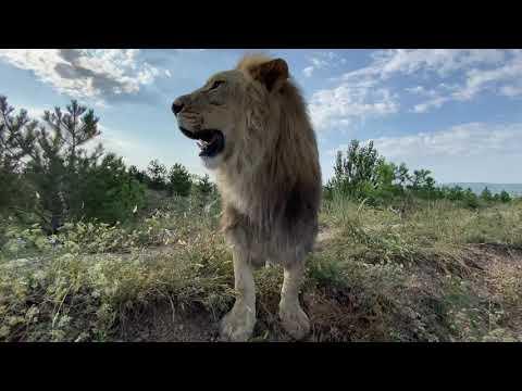 Львы Султан и Руслан пришли на мой зов !