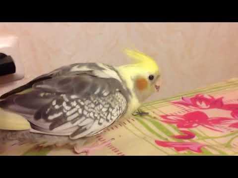 Корелла. Самка или самец? Какого пола этот попугай? Подсказки в описании.