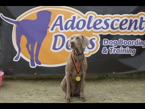 Cooper - Weimaraner - 4 Weeks Residential Dog Training