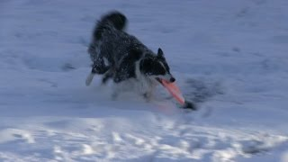 Jessie The Border Collie Playing Flying Disc in Fresh Snow