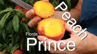 Prince of Peaches the Florda Prince Peach Tree - Low Chill