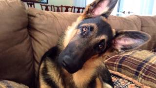 German Shepherd Abandoned At The Age Of 10 Days Old And His New Life