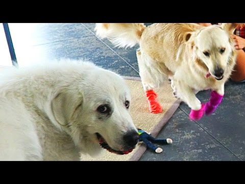 APRIL FOOLS PRANKS ON COOPER AND KODA! (Super Cooper Sunday #54)